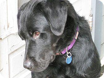 Labrador Retriever Dog for adoption in Buckeystown, Maryland - Woodstock aka Val