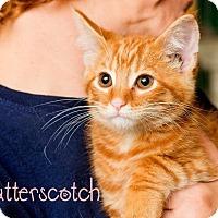 Adopt A Pet :: Butterscotch - Somerset, PA