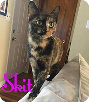 Domestic Shorthair Cat for adoption in New York, New York - Skit