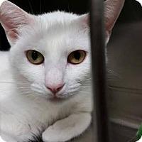 Adopt A Pet :: Pasha - Marlborough, MA