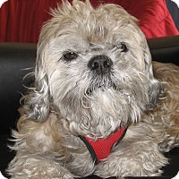 Shih Tzu Mix Dog for adoption in North Las Vegas, Nevada - Jacque