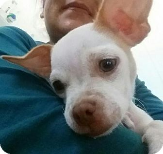 Chihuahua Mix Puppy for adoption in Dana Point, California - Snowflake