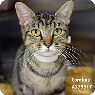 Domestic Mediumhair Cat for adoption in Conroe, Texas - CORALINE