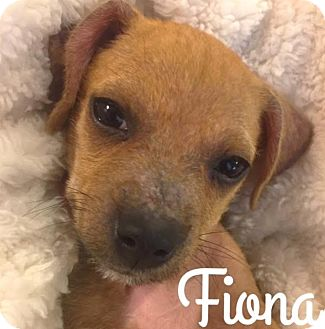Dachshund/Terrier (Unknown Type, Small) Mix Puppy for adoption in Boulder, Colorado - Fiona (FOSTER TO ADOPT)