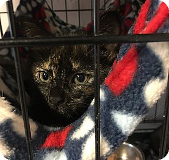 Domestic Shorthair Kitten for adoption in Loogootee, Indiana - Aria
