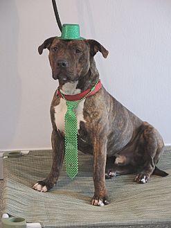 American Staffordshire Terrier/Shar Pei Mix Dog for adoption in Avon, Ohio - Muzzy