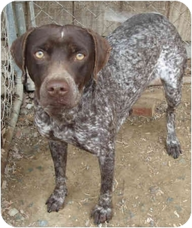 German Shorthair Lab Mix Pictures to Pin on Pinterest ...