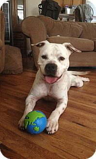 American Bulldog/Hound (Unknown Type) Mix Dog for adoption in Oviedo, Florida - Bubba