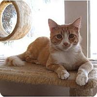 Domestic Mediumhair Cat for adoption in La Jolla, California - Bucky