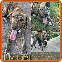 Adopt A Pet :: Rattle - Orlando, FL