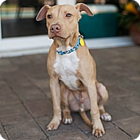 Adopt A Pet :: Riley - Lake Worth, FL