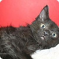 Adopt A Pet :: FELIX - SILVER SPRING, MD