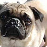 Adopt A Pet :: Mistie - Rigaud, QC
