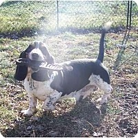 Adopt A Pet :: Fred HANDSOME HOUND - Antioch, IL