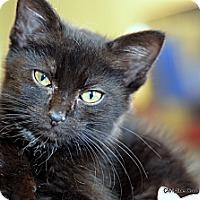 Adopt A Pet :: Cupcake - Island Park, NY