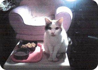 Domestic Shorthair Cat for adoption in Kyle, South Dakota - Dorri *Reduced adoption fee FIV postive kitty*