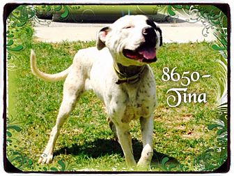 Pit Bull Terrier Mix Dog for adoption in Dillon, South Carolina - Tina