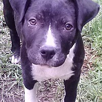 Labrador Retriever/Pit Bull Terrier Mix Dog for adoption in Houston, Texas - Carly