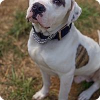 Adopt A Pet :: Chuck - Allentown, PA