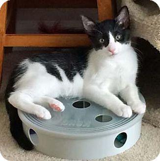Domestic Shorthair Kitten for adoption in Merrifield, Virginia - Brady