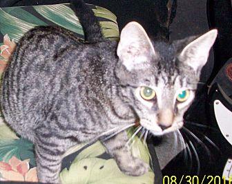 Domestic Shorthair Kitten for adoption in Morriston, Florida - DUGGER