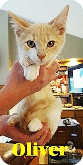 Domestic Shorthair Kitten for adoption in Capshaw, Alabama - Oliver