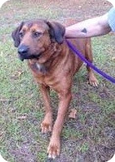 Labrador Retriever/Shepherd (Unknown Type) Mix Dog for adoption in Manchester, New Hampshire - Zip
