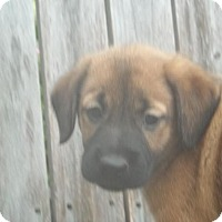 Shepherd (Unknown Type)/Beagle Mix Puppy for adoption in Rocky Mount, North Carolina - Reanne