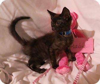 Domestic Shorthair Kitten for adoption in Geneseo, Illinois - Denver