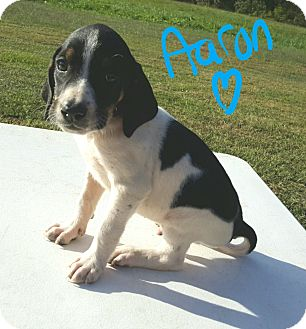 Beagle Mix Puppy for adoption in Burlington, Vermont - Aaron