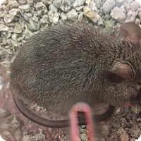 Adopt A Pet :: Xanto - Vancouver, WA