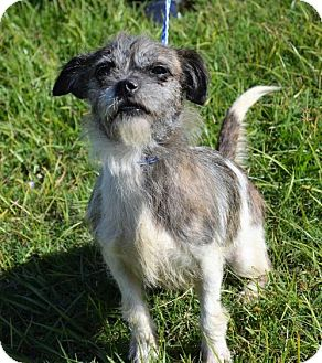 Shih Tzu/Terrier (Unknown Type, Medium) Mix Dog for adoption in Brunswick, Maine - Domino