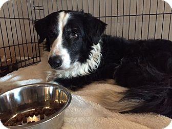 Border Collie Mix Dog for adoption in Tempe, Arizona - Pimiento