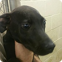 Labrador Retriever Mix Dog for adoption in Paducah, Kentucky - Zack
