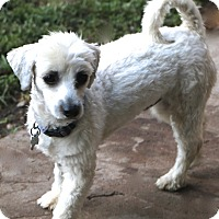 Maltese/Havanese Mix Dog for adoption in Bedminster, New Jersey - Chilton