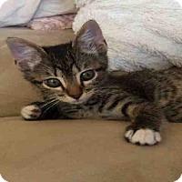 Domestic Shorthair Kitten for adoption in Houston, Texas - GILMORE