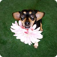 Adopt A Pet :: Novella - Casa Grande, AZ