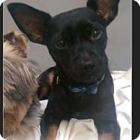 Adopt A Pet :: Yoda - Hollywood, CA