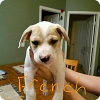 Adopt A Pet :: French Vanilla - Royal Palm Beach, FL