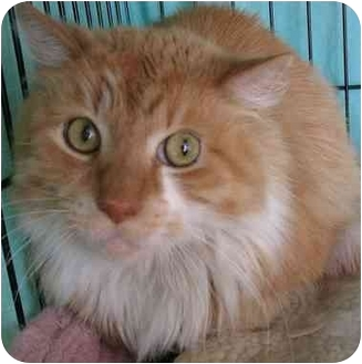 Domestic Longhair Cat for adoption in Plainville, Massachusetts - Paul