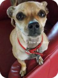 Chihuahua Mix Dog for adoption in San Diego, California - Felicity