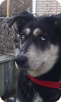 Husky/German Shepherd Dog Mix Dog for adoption in Belleville, Michigan - Bailey