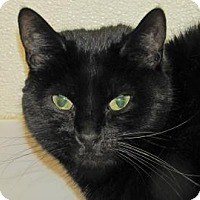 Domestic Mediumhair Cat for adoption in Woodstock, Illinois - Lil' Kitty