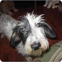 Adopt A Pet :: Miriam - Scottsdale, AZ