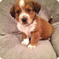 Adopt A Pet :: Shorty - Marlton, NJ
