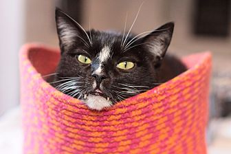 Domestic Shorthair Cat for adoption in Los Angeles, California - Maxie