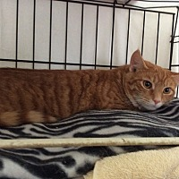Domestic Shorthair Cat for adoption in Mt Pleasant, Pennsylvania - Red