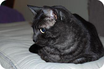 Domestic Shorthair Cat for adoption in Toronto, Ontario - Tucker