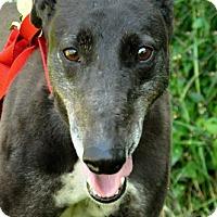 Adopt A Pet :: Lash - Thornton, CO