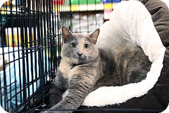 Domestic Shorthair Cat for adoption in Gainesville, Virginia - Maggie